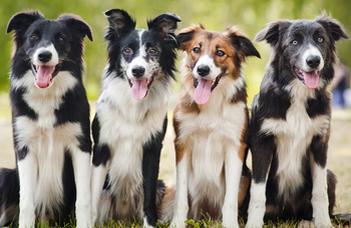 Az időskori szelektív hallás a kutyáknál is létezik