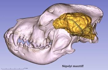 Koponyák alapján alkottak látványos 3D-modelleket a kutyák agyáról