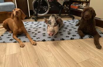 A kutya az embernek, a törpemalac csak gazdájának legjobb barátja?