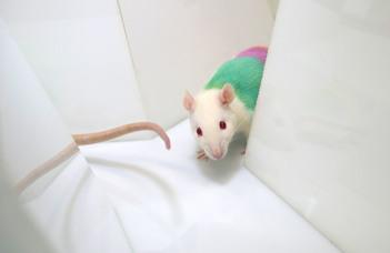 Mit tanulhatunk a patkányoktól?