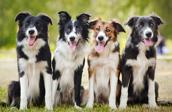 Az együttműködésre szelektált kutya ragaszkodóbb