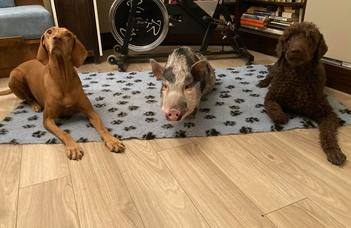 Dogs are man's, while pigs are only their owner's best friend?
