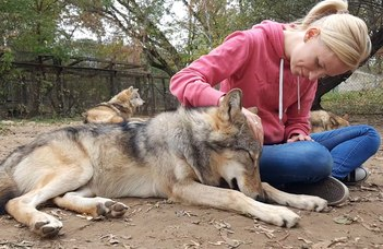 Wolves attached - Adult wolves miss their human handler in separation similar to dogs